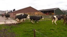 De koeien van boer Teun zijn dolblij dat ze de wei weer in mogen.