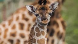 Giraffenbabyboom in Beekse Bergen: wéér een jong geboren