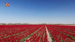 Bloemenpracht in Wouw.