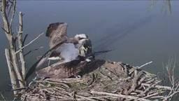 Visarenden doen het op de webcam, boswachter vindt het fantastisch mooi