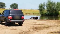 Twee taurossen worden doodgeschoten bij natuurgebied Keent bij Graven.
