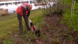 De boswachter vindt regelmatig dode dieren langs de weg, omdat ze zijn aangereden.
