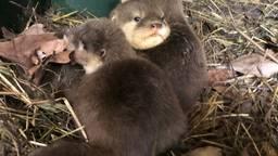 Geboortegolf in ZooParc Overloon