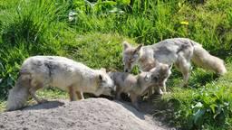 Bijzondere welpen geboren: twee jonge steppevossen in Dierenrijk in Mierlo