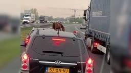 Er staat een paard op de weg: losgebroken paarden lopen op A50