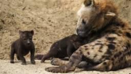 Hyena-baby's in de Beekse Bergen, de vraag is wanneer kraamvisite weer mag