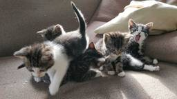 Kittens worden opgevangen in Oss