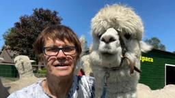 Alpaca's populairder dan ooit: 'mensen willen gewoon knuffelen'.