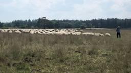 Schapen bestrijden in natuurgebied Valkenswaard het oprukkende 'pijpenstrootje'