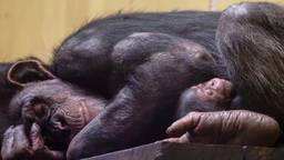 Tweede geboorte in maand tijd van bedreigde chimpanseesoort Beekse Bergen