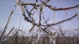 Zo zouden de bomen van fruitteler Roks in Fijnaart eruit kunnen gaan zien (foto: Roks Streekwinkel).