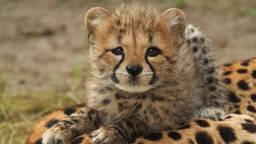 Zes cheetawelpjes mogen voor het eerst naar buiten in de Beekse Bergen