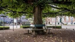 De Moeierboom in hartje Etten-Leur (foto: Ton van Etten).