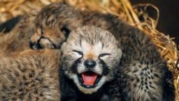 Pas bevallen cheeta adopteert drie andere welpjes in Beekse Bergen