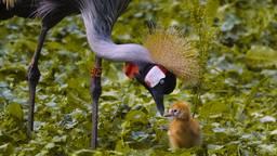 In de Beekse Bergen is een grijze kroonkraanvogel uit het ei gekropen.