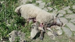 Een van de dode schapen in de wei bij Wijk en Aalburg (foto: Sjoerd Poorter)