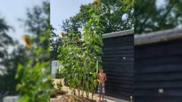 Zoon Toby bij de gigantische zonnebloemen (foto: Judith Nijssen).