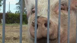 Een van de bewoners van Park Veldzicht: Miss Piggy (foto: Rob Bartol).