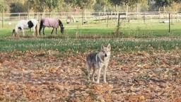 De Saarlooswolfhond in Nederwetten (foto: Harm Sanders).