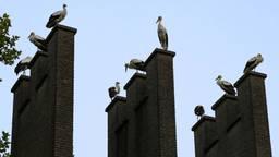 Ooievaars in Ommel (foto: Harrie Grijseels/SQ Vision).