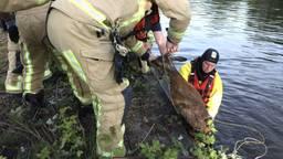 Hulpverleners haalden het dier uit het water (foto: Sander van Gils/SQ Vision).