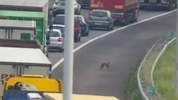 Een van de honden (foto: Twitter Rijkswaterstaat Verkeersinformatie)