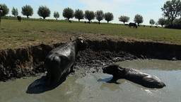 Boer boert goed met waterbuffels en het waterbuffelworstenbroodje