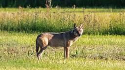 Dit is niet de wolf waarover het artikel gaat (foto: Andre Bonga).