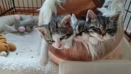 De opgevangen kittens. (foto: dierenopvang Maasland)