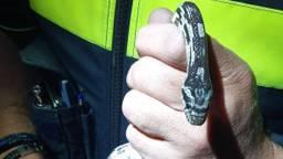 Deze slang zat in een achtertuin in Etten-Leur. (Foto:Politie)