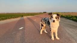 Jaxx wandelt weer door de polder (foto: Joyce Lodders)