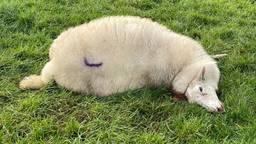 Diverse schapen werden aangevallen in een weiland in Rosmalen (foto: Bart Meesters).