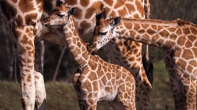 Kabira wordt al snel opgenomen in de giraffekudde (foto: Safaripark Beekse Bergen).