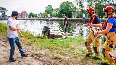 Een geredde waterbuffel (foto: Sem van Rijssel/SQ Vision).