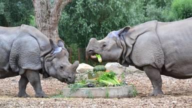 De neushoorns kregen een speciale groentetaart. Foto: Dierenrijk