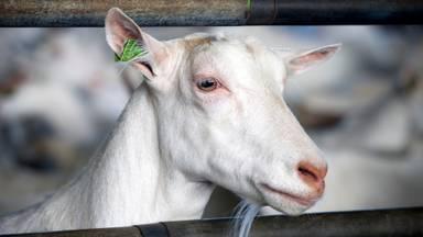 Q-koorts is een ziekte die van geiten en schapen op mensen wordt  overgedragen (foto: ANP).