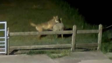 De wolf in de regio werd vastgelegd op camerabeelden.