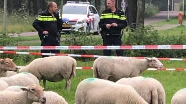 Wijkagent Johan (rechts) en zijn collega wisten te voorkomen dat de schapen op de snelweg belandden (foto: Wijkagent Johan Damen).