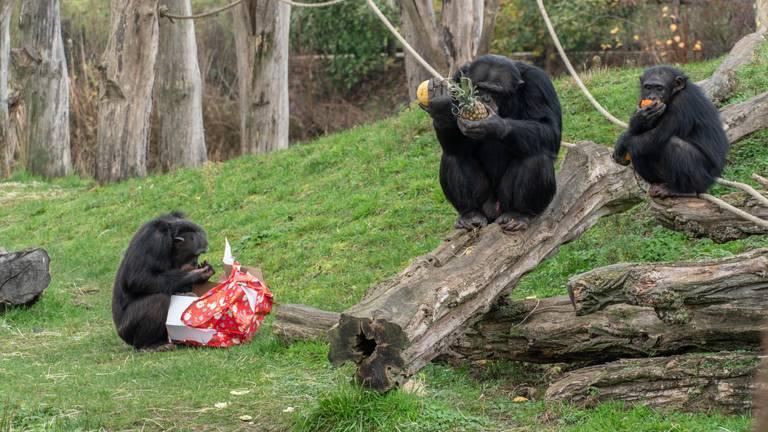 Samen smikkelen van al het lekkers dat Sinterklaas de apen bracht (foto: Dierenrijk).