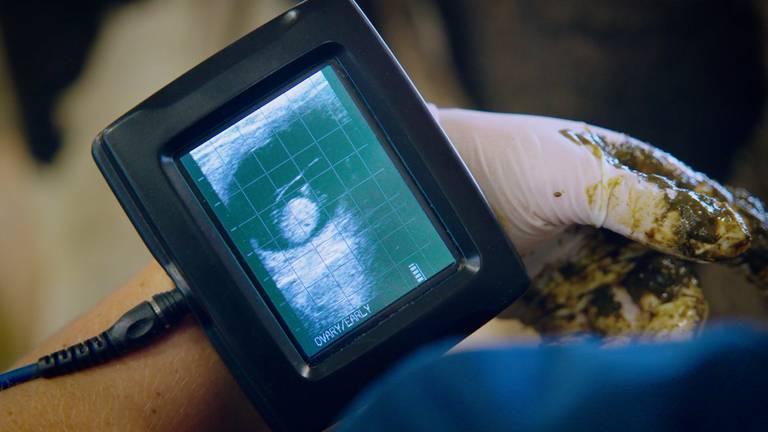Op de monitor is een kalfje te zien.