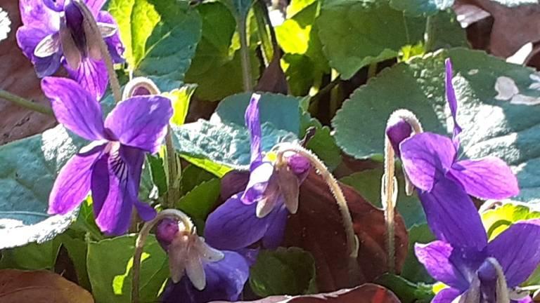 Het maarts viooltje is een van de vroege bloeiers, en een van de meest welriekende (foto: Mariëtte Diepens Corstiaans).