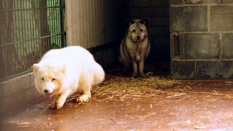 Twee van de vijf vossen verkennen hun nieuwe behuizing (foto: Animal Rights).