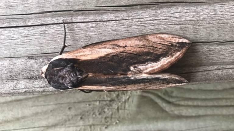 Een ligusterpijlstaart met gesloten vleugels (foto: Roland Spoormakers).