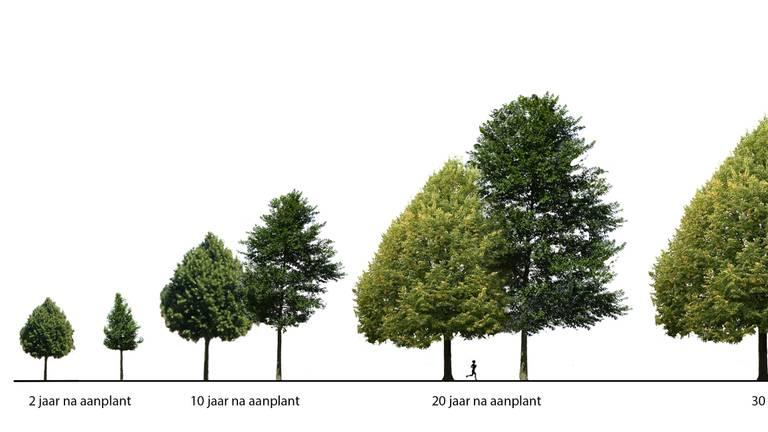 Het duurt 30 jaar voor de bomen volgroeid zijn (foto: gemeente Den Bosch)