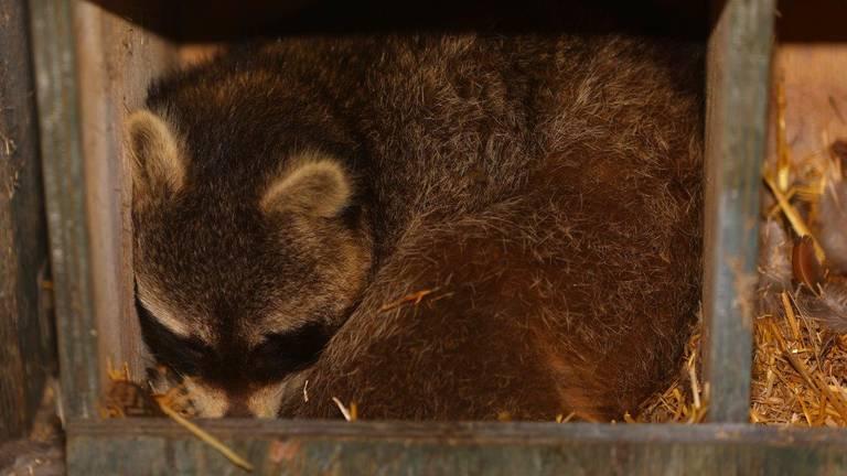 Dinsdag werd een tweede wasbeer in Vught gevonden (foto: Bart Meesters - SQ Vision).