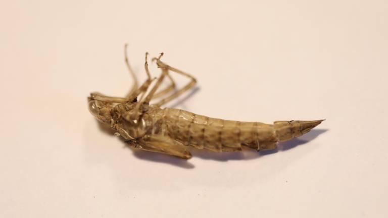 De lege huid van een grote libellensoort (foto: Adri Klaasse).