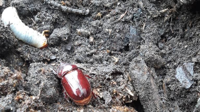 Een volwassen neushoornkever en larven van dit insect (foto: Antoon Krol).