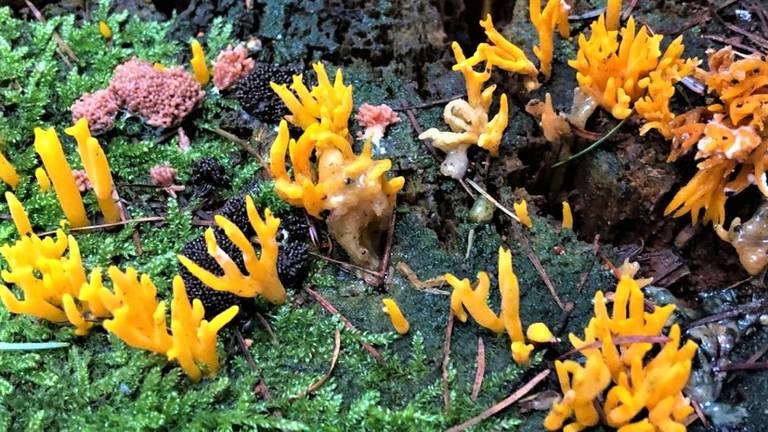 Kleverige koraalzwammetjes (foto: Harrie Brokken).