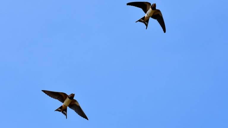 Zwaluwen hoog in de lucht (foto: Pixabay)