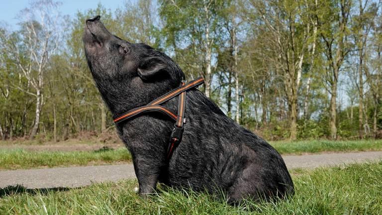 Niet alle varkens hebben het zo goed, vindt de Reclame Code Commissie (foto: Ben Saanen).